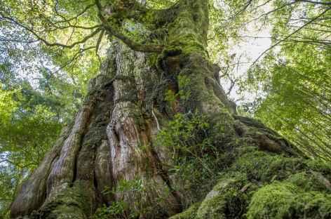 Cèdre millénaire, île de Yakushima - Japon -