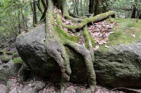 Forêts de cèdres millénaires de Yakushima - Japon -