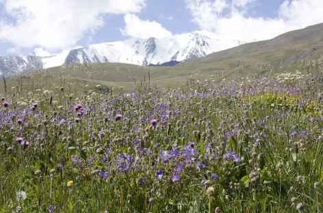 Fleurs alpines - Kirghizie -