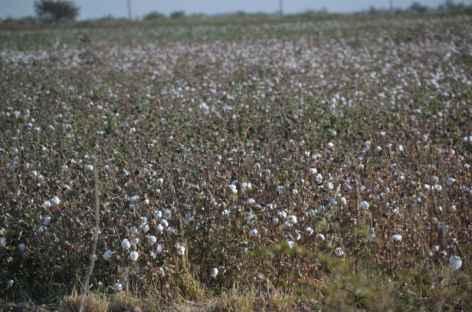 Champ de coton, Ouzbékistan -