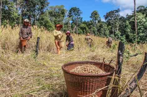 Récolte du riz dans les Ratanakiri - Cambodge -