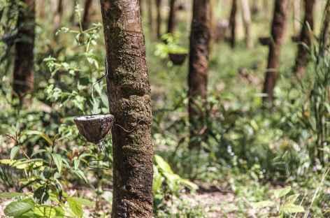 Visite d'une plantation de caoutchouc - Cambodge -