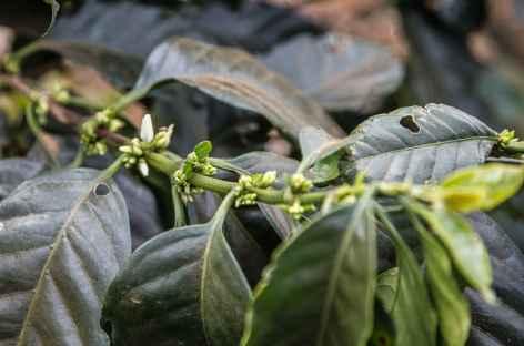 Un caféier sur le plateau des Bolovens - Laos -