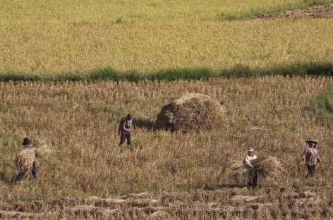 Récolte du riz entre Luang Nam Tha et Muang Khua - Laos -