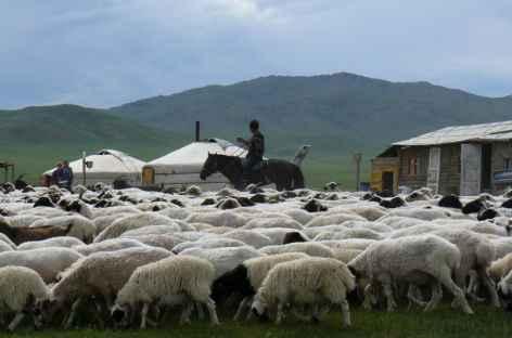 Troupeau de moutons - Mongolie -