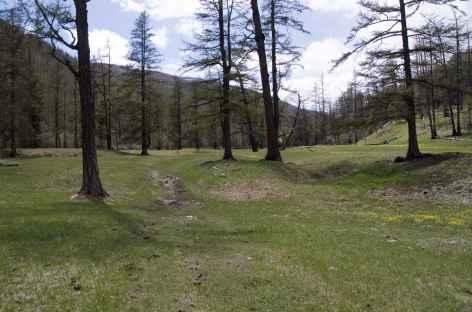 Forêt de conifères, Mongolie -