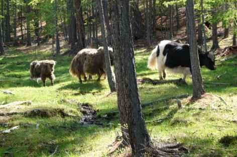 Yak en forêt, Mongolie -