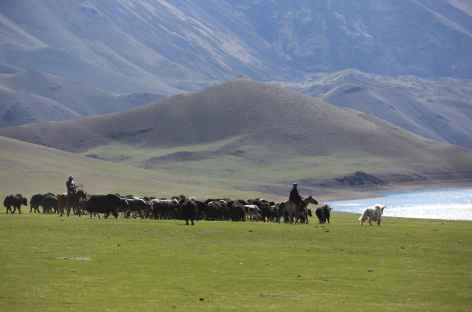 Troupeaux près du lac Khukh - Mongolie -