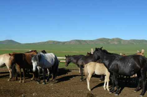 Chevaux mongols, Mongolie -