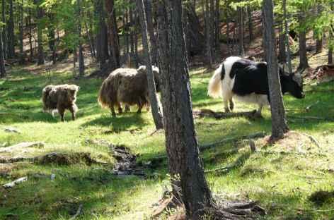 Yak en forêt - Mongolie -