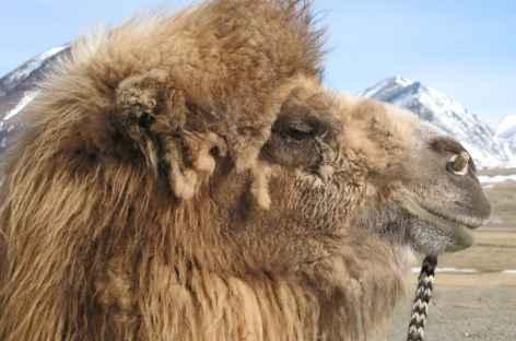 Chameau de Bactriane, Mongolie -