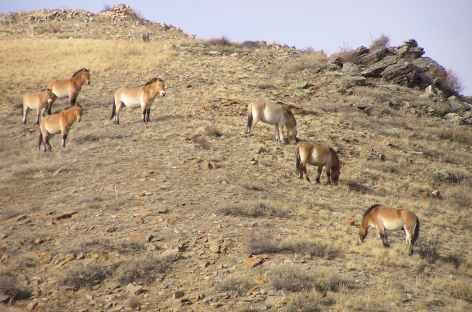 Chevaux sauvages de Prjevalski - Mongolie -