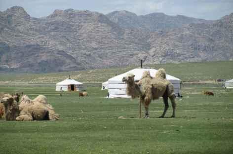 Chameaux de Bactriane, Mongolie -