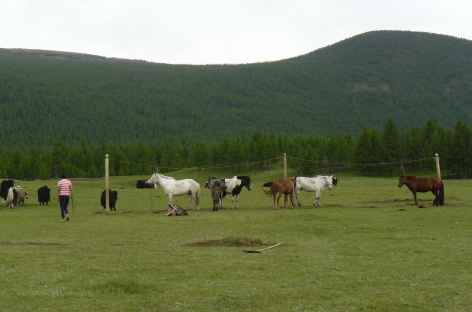Chevaux - Mongolie -