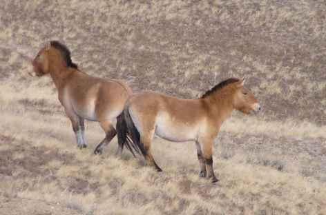 Chevaux sauvages de Prjevalski, Mongolie -