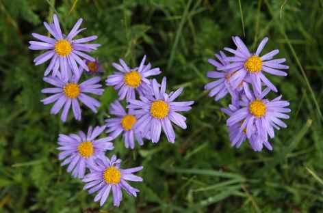 Fleurs - Mongolie -