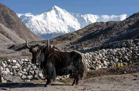 Yak et Cho Oyu - Nepal -