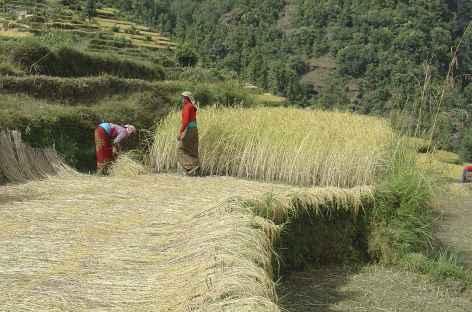 Récoltes - Népal -