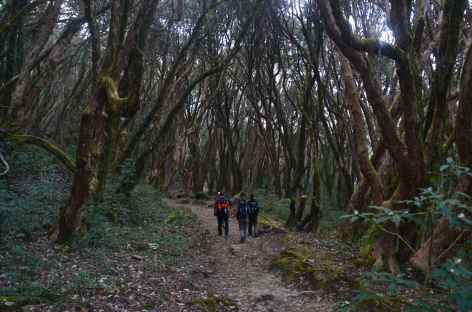 Forêt de rhododendrons - Népal -