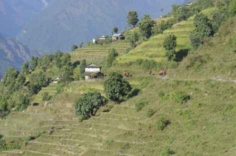 Cultures en terrasses, Népal -
