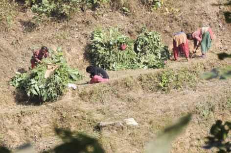 Dans les champs de Chirkeni, Népal -