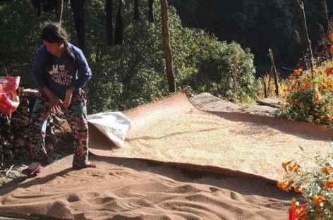 Travaux des récoltes  - Népal -