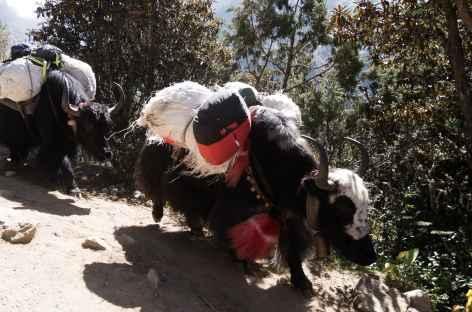 Yacks sur le chemin - Népal -
