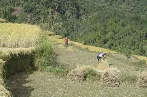 Récoltes vers Chomrong  - Népal -