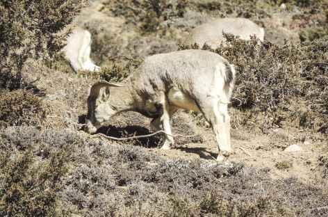 Nagwal, les moutons bleus - Népal -