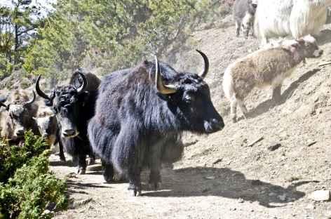 Rencontre avec des Yaks - Népal -