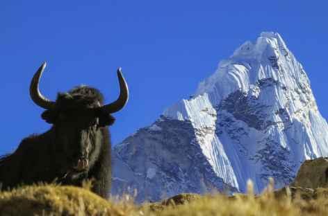 Yak sous la face Nord de l'Ama Dablam - Népal -