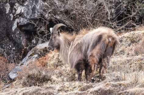 Tahr sous son pelage hivernal - Népal -