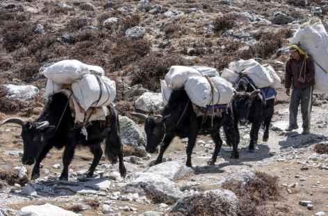 Dzos ravitaillant les villages -Népal  -