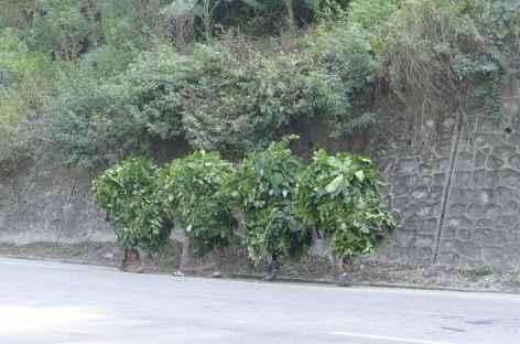 Récoltes de feuilles près de Bandipur -