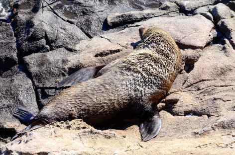 Otarie à fourrure - Nouvelle Zélande -