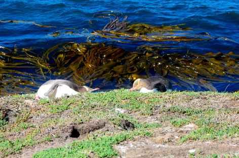 Manchots au yeux jaunes vers Katitki Point - Nouvelle Zélande -