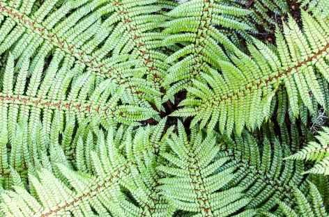 Fougère,emblème de Nouvelle Zélande -