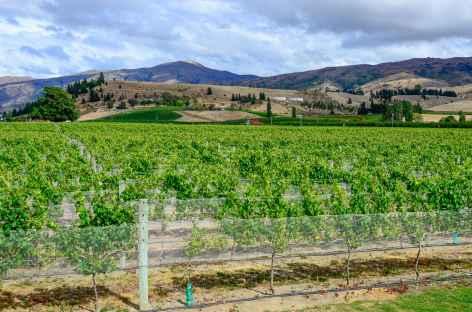 Vignoble vers Renwick - Nouvelle Zélande -