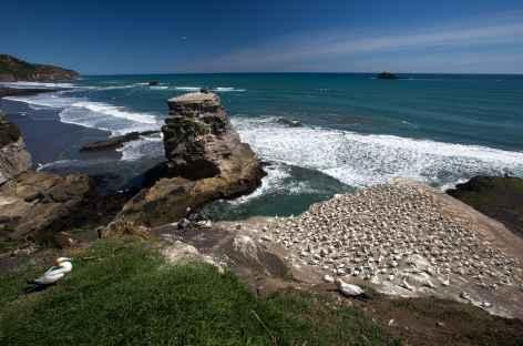 Colonie de fous de Bassan à Muriwai - Nouvelle Zélande -