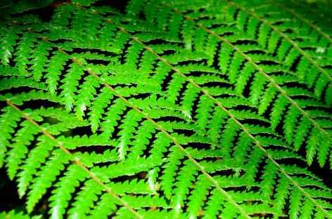 Fougère, emblème de la Nouvelle Zélande -