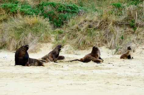 Lions de mer sur la côte des Catlins - Nouvelle Zélande -