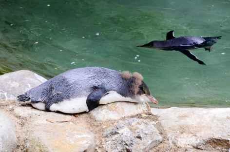 Pingouins aux yeux jaunes, Péninsule d'Otage - Nouvelle Zélande -