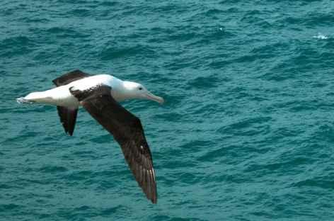 Albatros en vol, Taiaroa Head - Nouvelle Zélande -