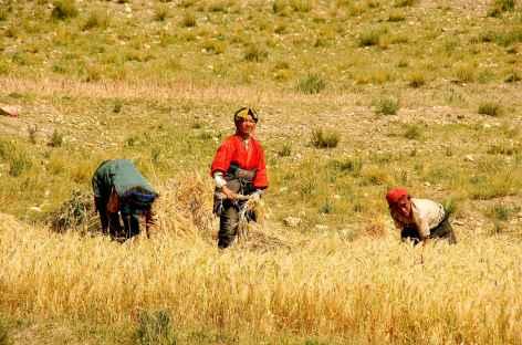 Récolte de l'orge à l'automne, encore à la main - Tibet -