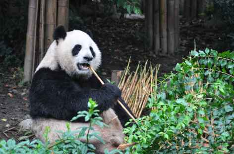 Panda géant en plein repas, Chengdu - Chine -