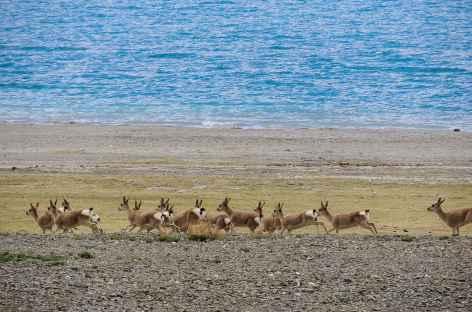 Gazelles tibétaines sur les bords du lac Yamdrok - Tibet -