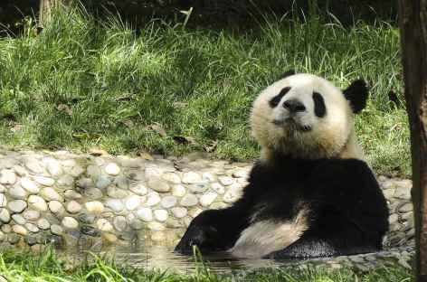 Panda Géant à Chengdu , Chine -