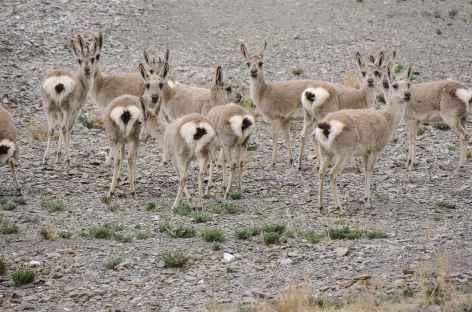 Gazelles des hauts plateaux, Tibet -