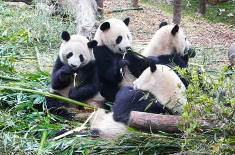 Pandas - Chegndu -