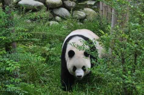 Panda de Chengdu - Chine -